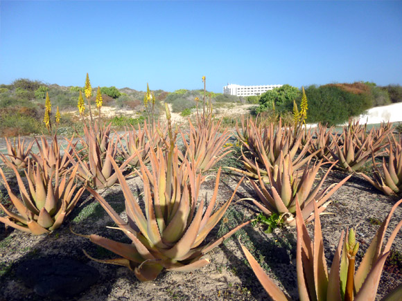 Production d'Aloe Vera à Fuerteventura